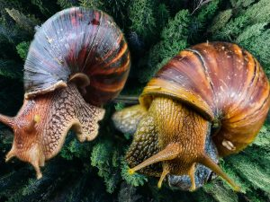 GALS used in snail farming