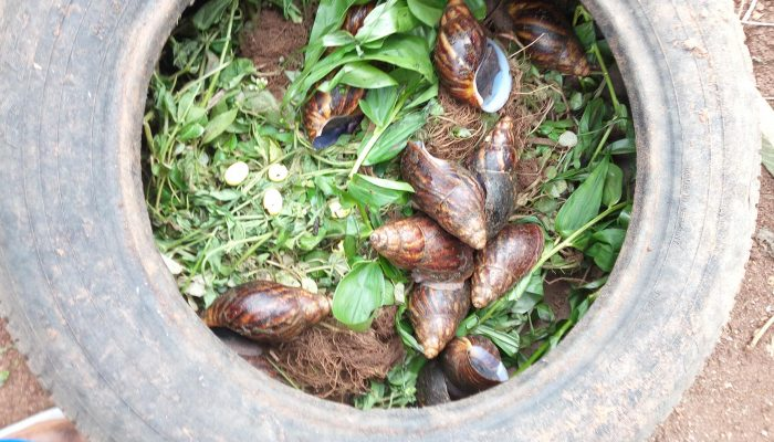 Image result for rearing snails in drums and car tyres