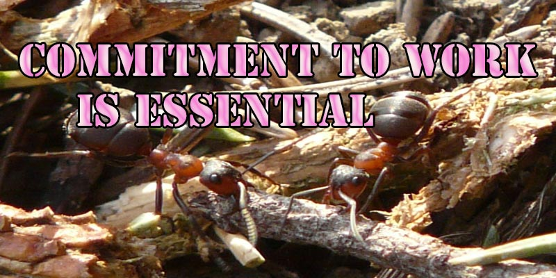 Commitment to work by ants
