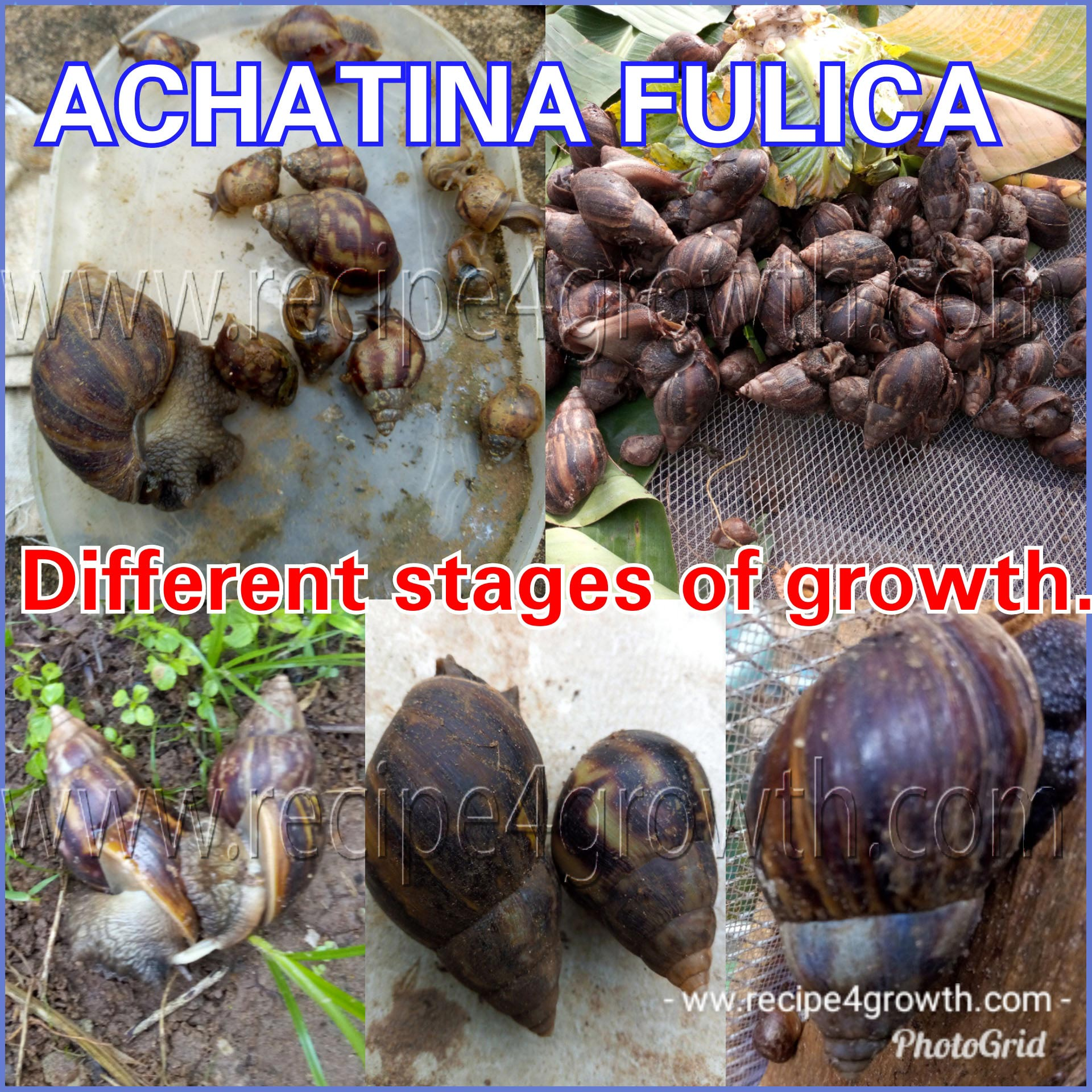 Achatina Fulica growth stages.