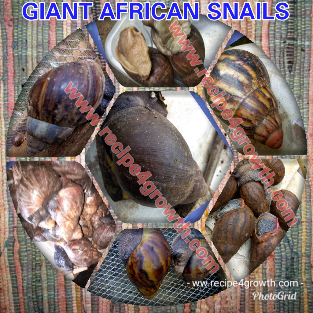 Bonding with giant African snail pic 1