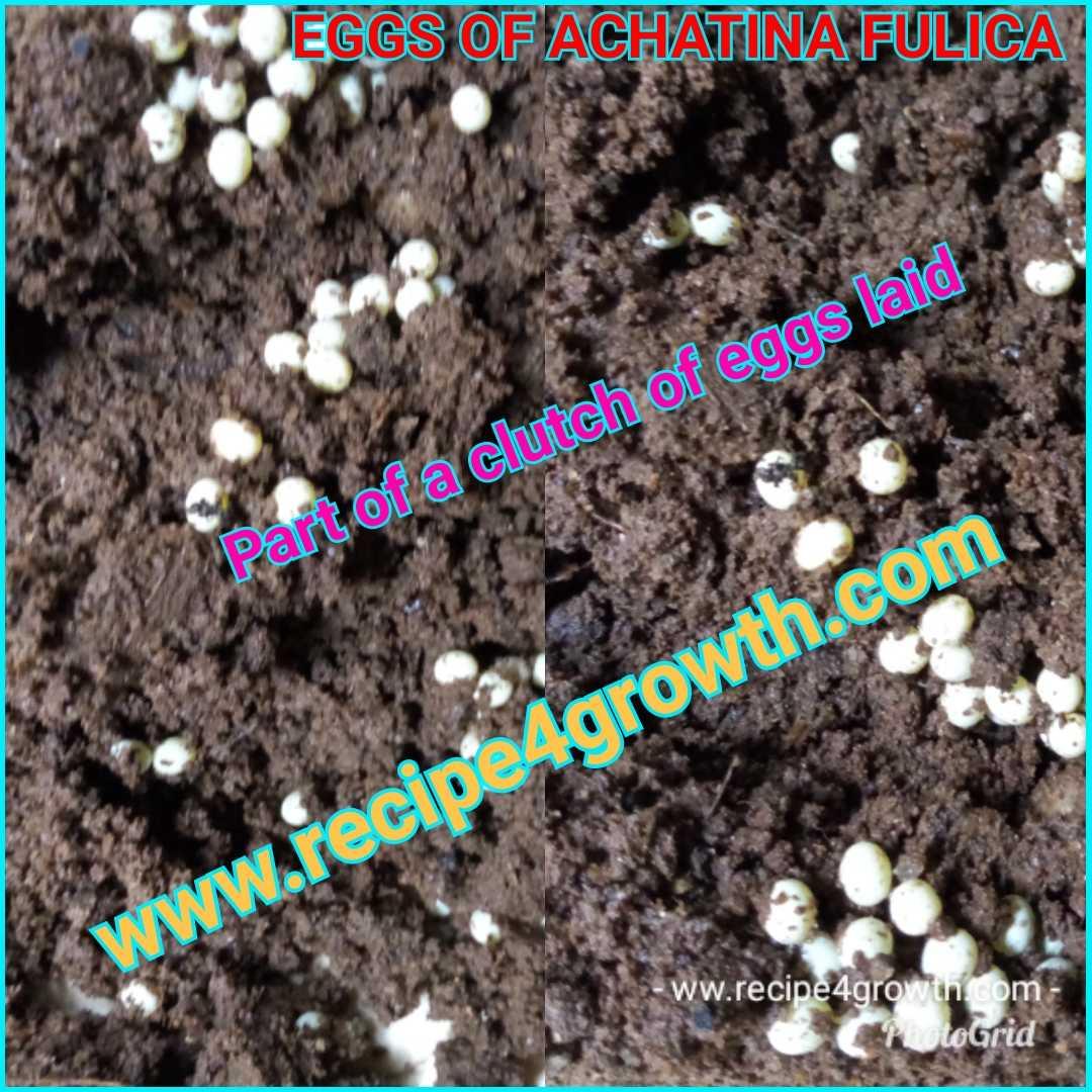 Eggs of Achatina Fulica